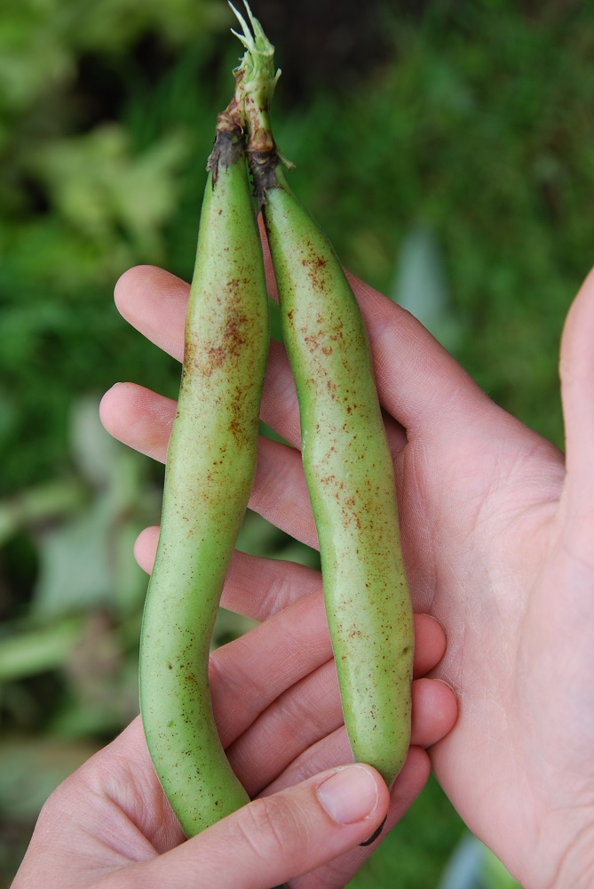 Broad Bean Pod With Rust