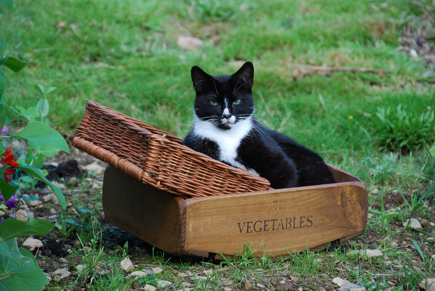 cat in a vegetable basket