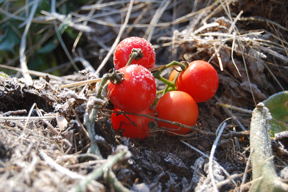 Tomatoes Caught By An Early Frost