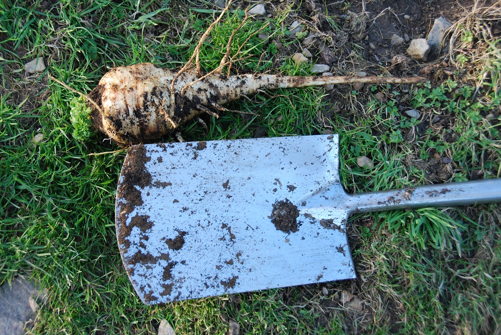 Growing Perfect Parsnips With Stony Ground