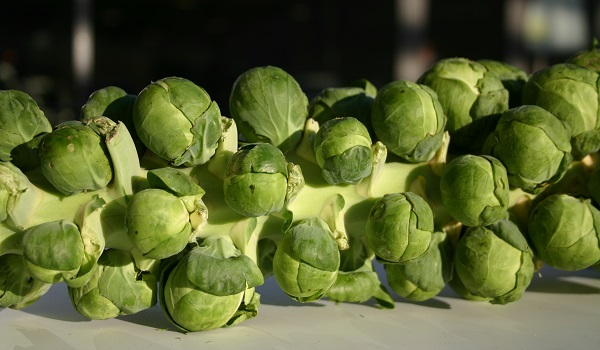 Brussel Sprouts ready to pick