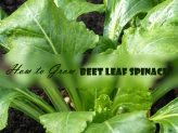 How to Grow Beet Leaf Spinach