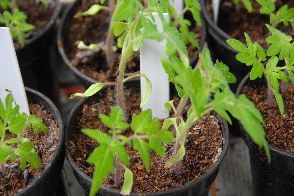 Tomato Plant Seedlings Ready To Pot On